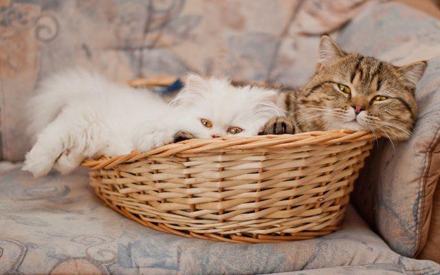 sepette-iki-kedi